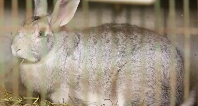 Touraine's rabit
